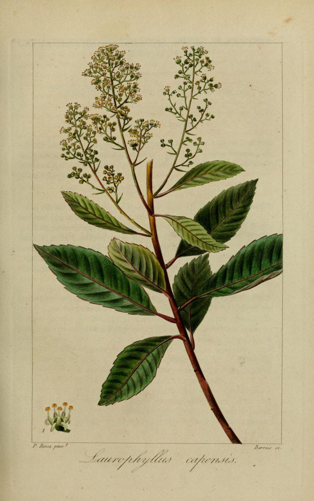 30251 laurophylle du cap - laurophyllus capensis