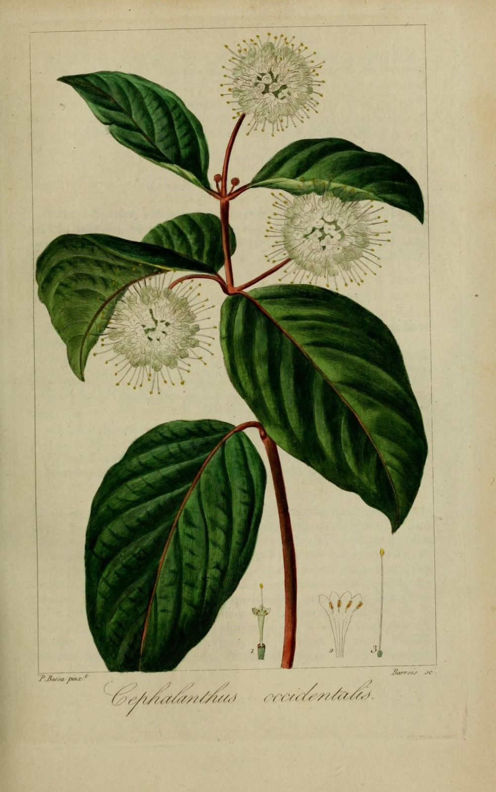 30255 cephalanthe occidental - cephalanthus occidentalis