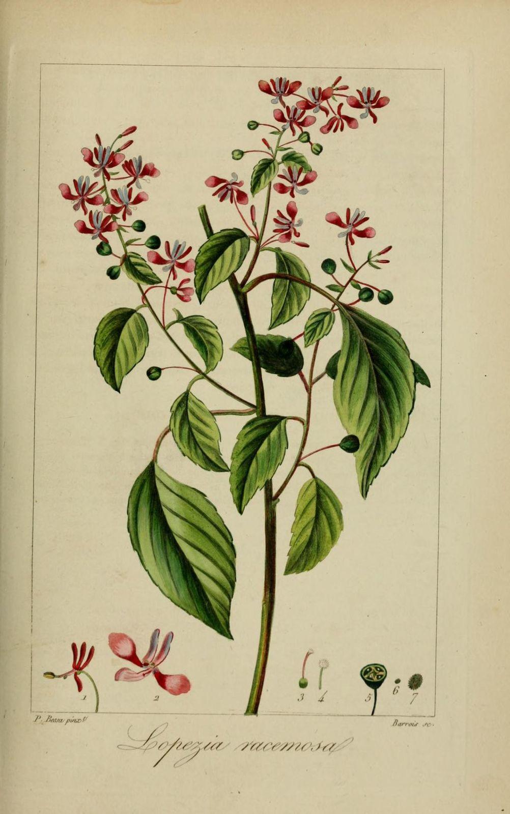 30267 lopezie a grappes - lopezia racemosa