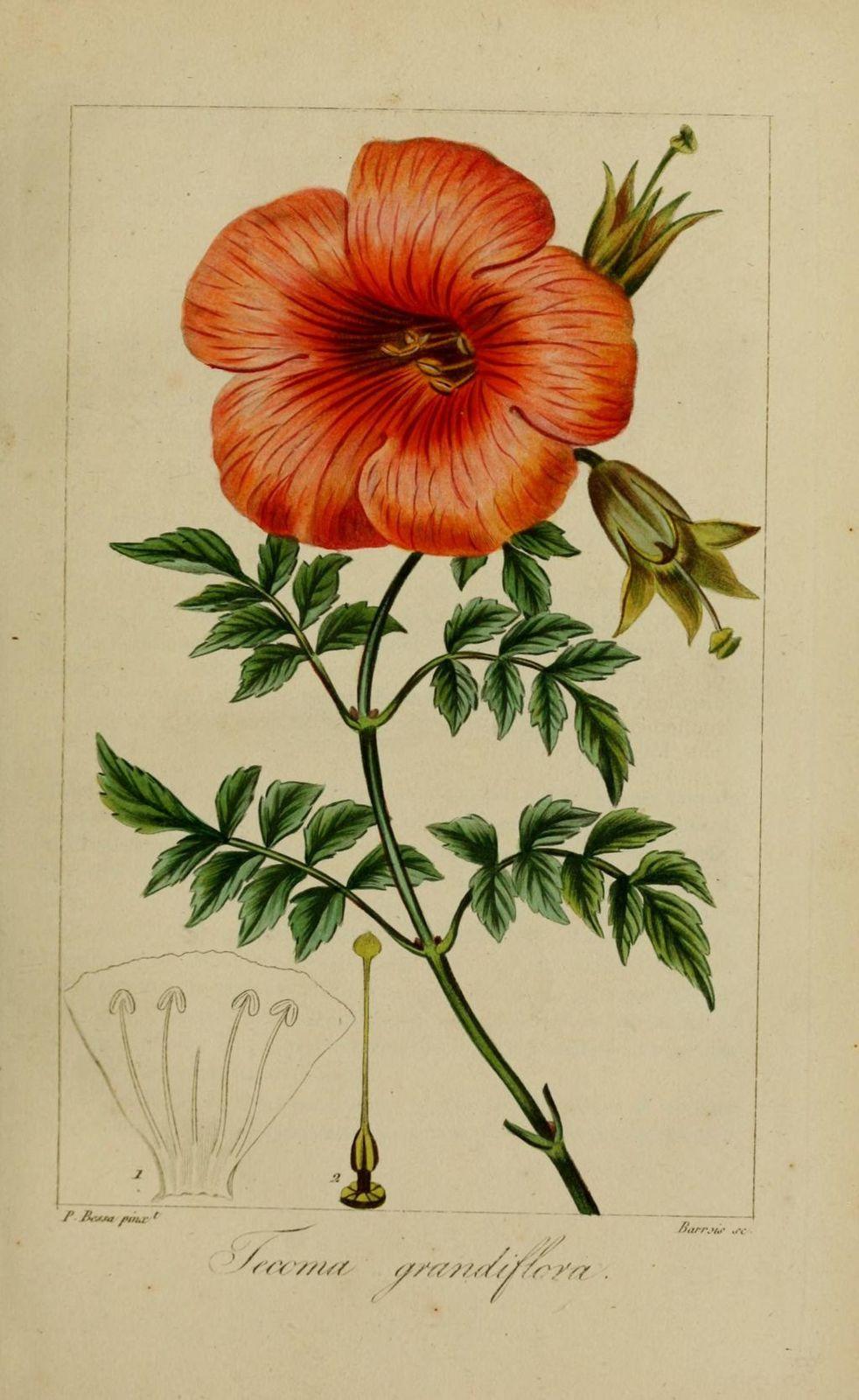 40015 tecoma grandiflore - tecoma grandiflora