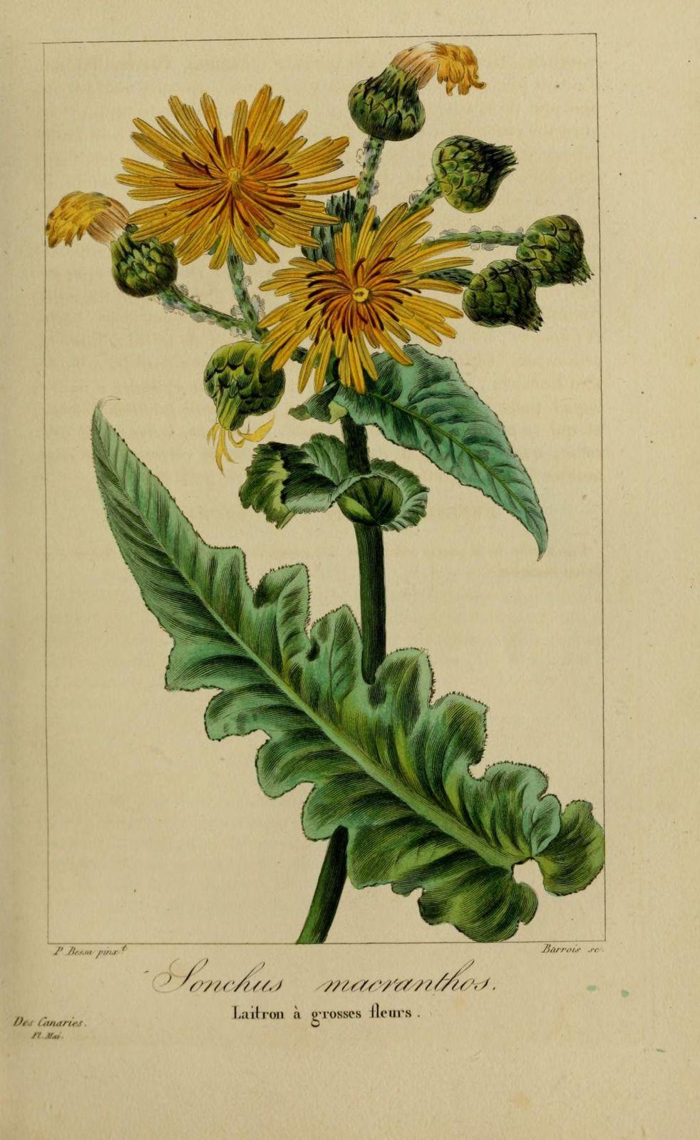 40123 laitron a grosses fleurs - sonchus macranthos