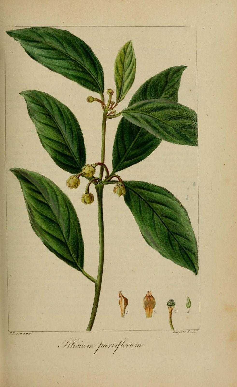 40199 badiane a petites fleurs - illicium parviflorum
