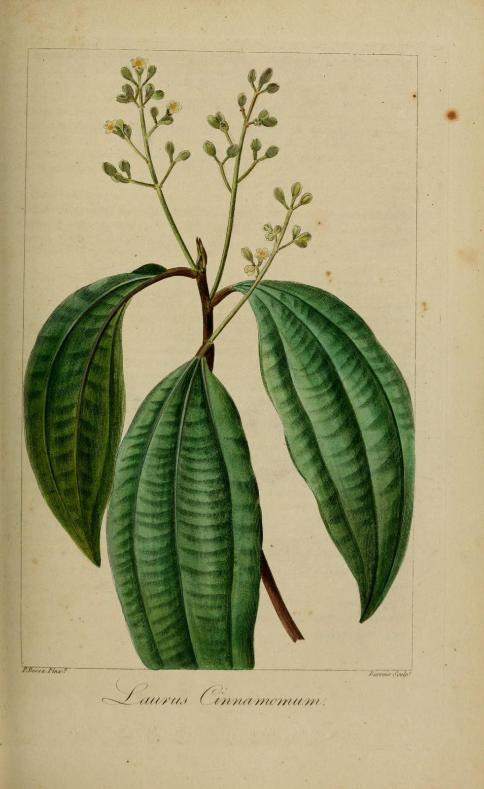 40215 laurier cannellier - laurus cinnamomum