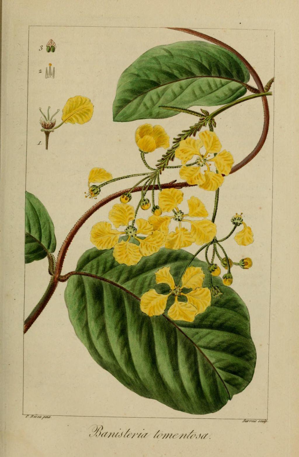50035 banisteria cotonneux - banisteria tomentosa