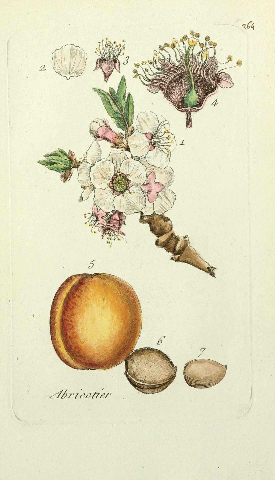 abricotier - prunus armeniaca