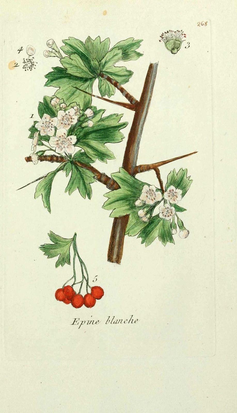 aubepine - crataegus oxyacantha ( noble epine, epine blanch
