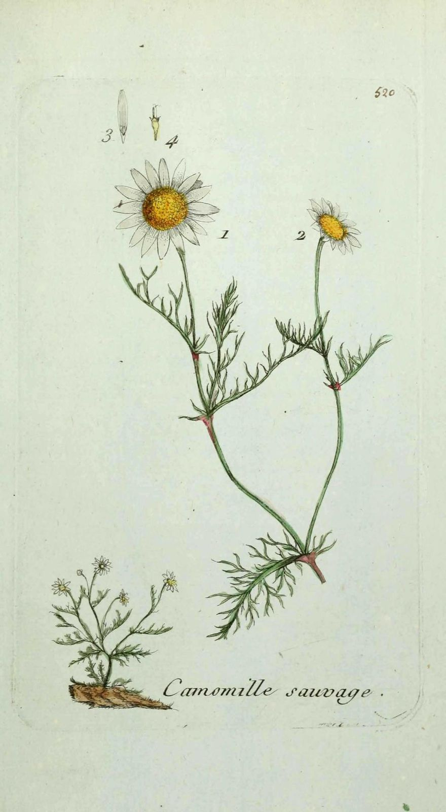 camomille puante - anthemis cotula ( camomille sauvage, mar