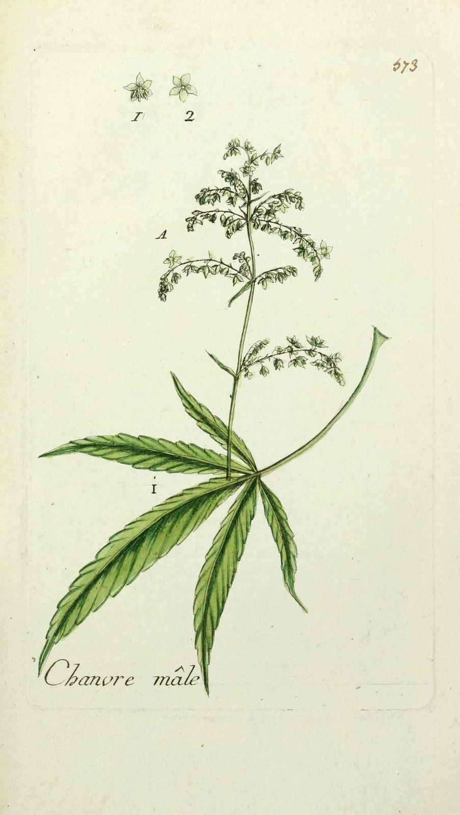 Gravure Chanvre Male Cannabis Sativa Mas Cambe Education