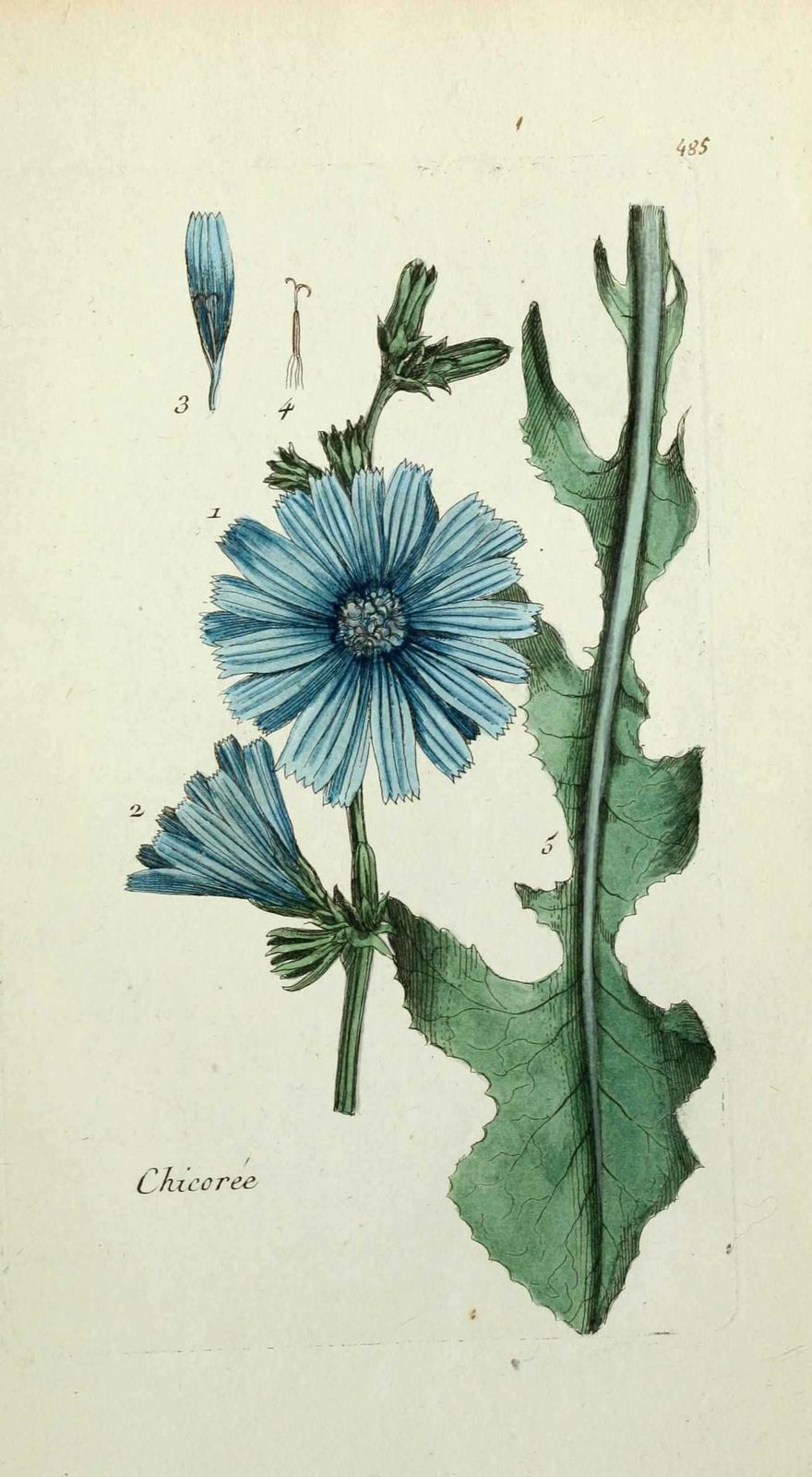 chicoree commune - cichorium intybus ( endive sauvage )