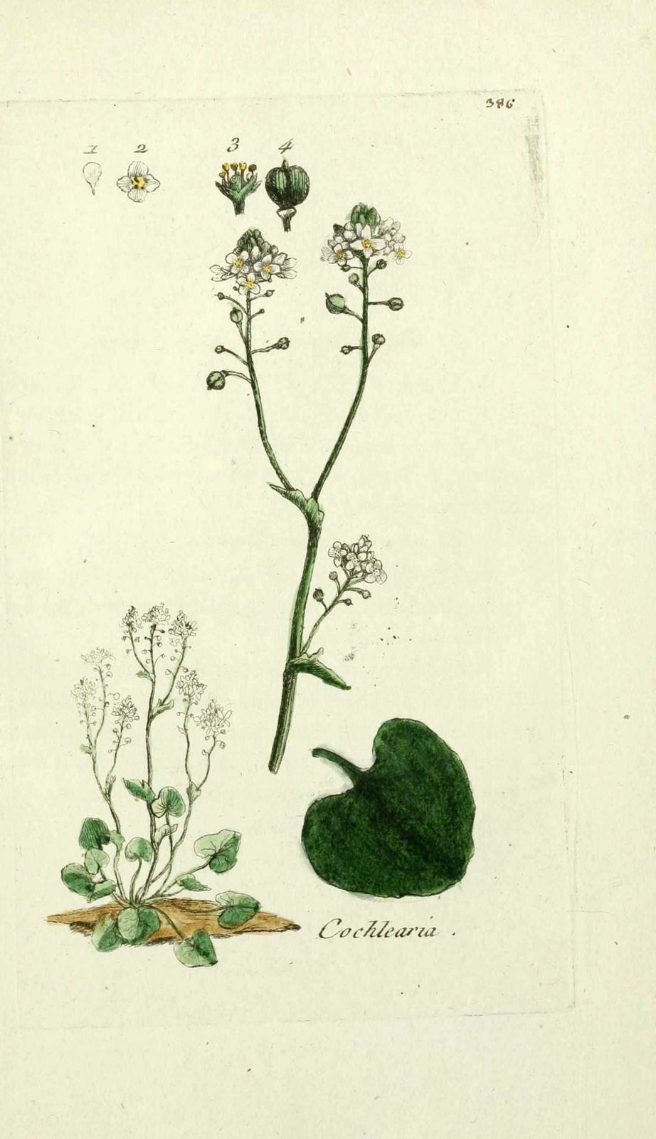 cochleaire officinale - cochlearia officinalis ( cranson, h