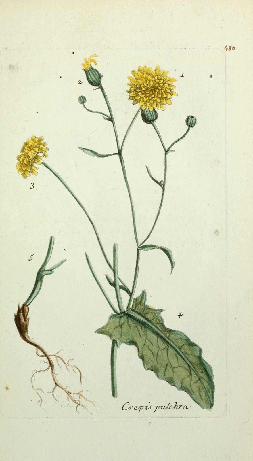 crepide elegante - crepis pulchra