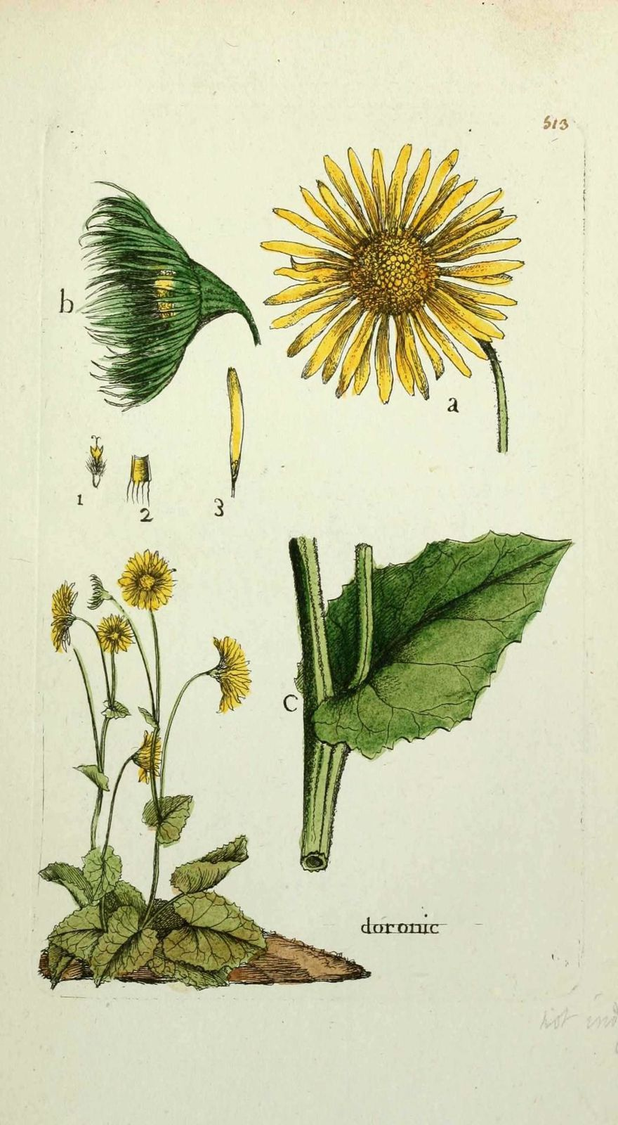 doronic - doronicum scorpioides ( queue de scorpion )