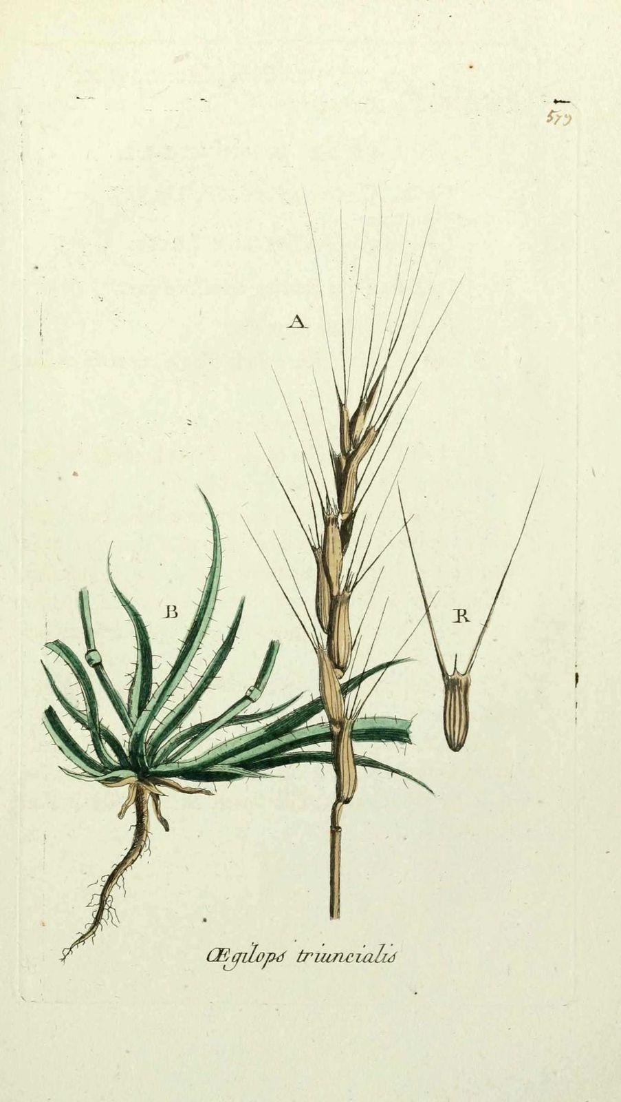 egilope a trois aretes - aegilops triuncialis ( epi aux lou