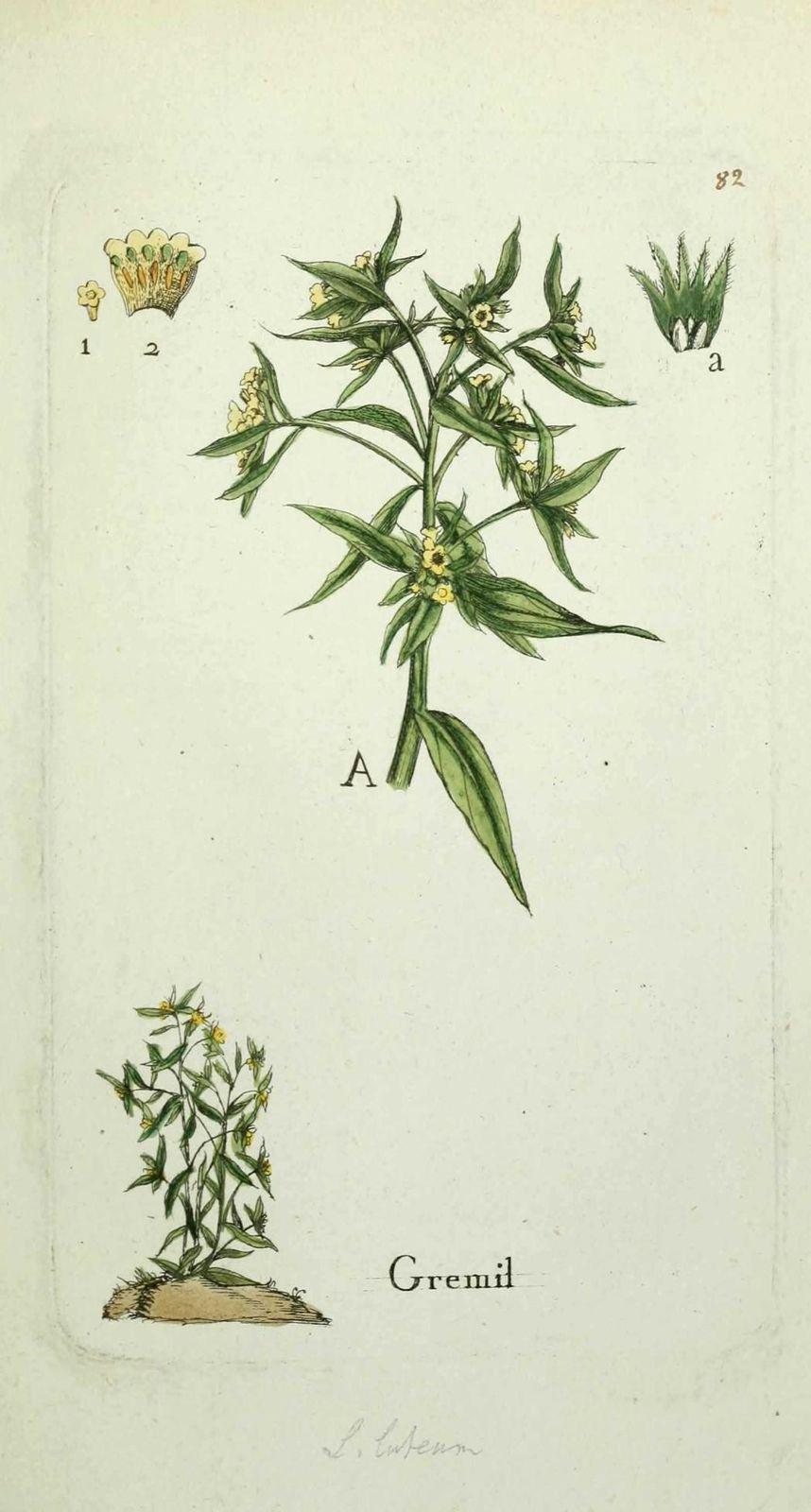 gremil - lithospermum officinale ( herbe aux perles )
