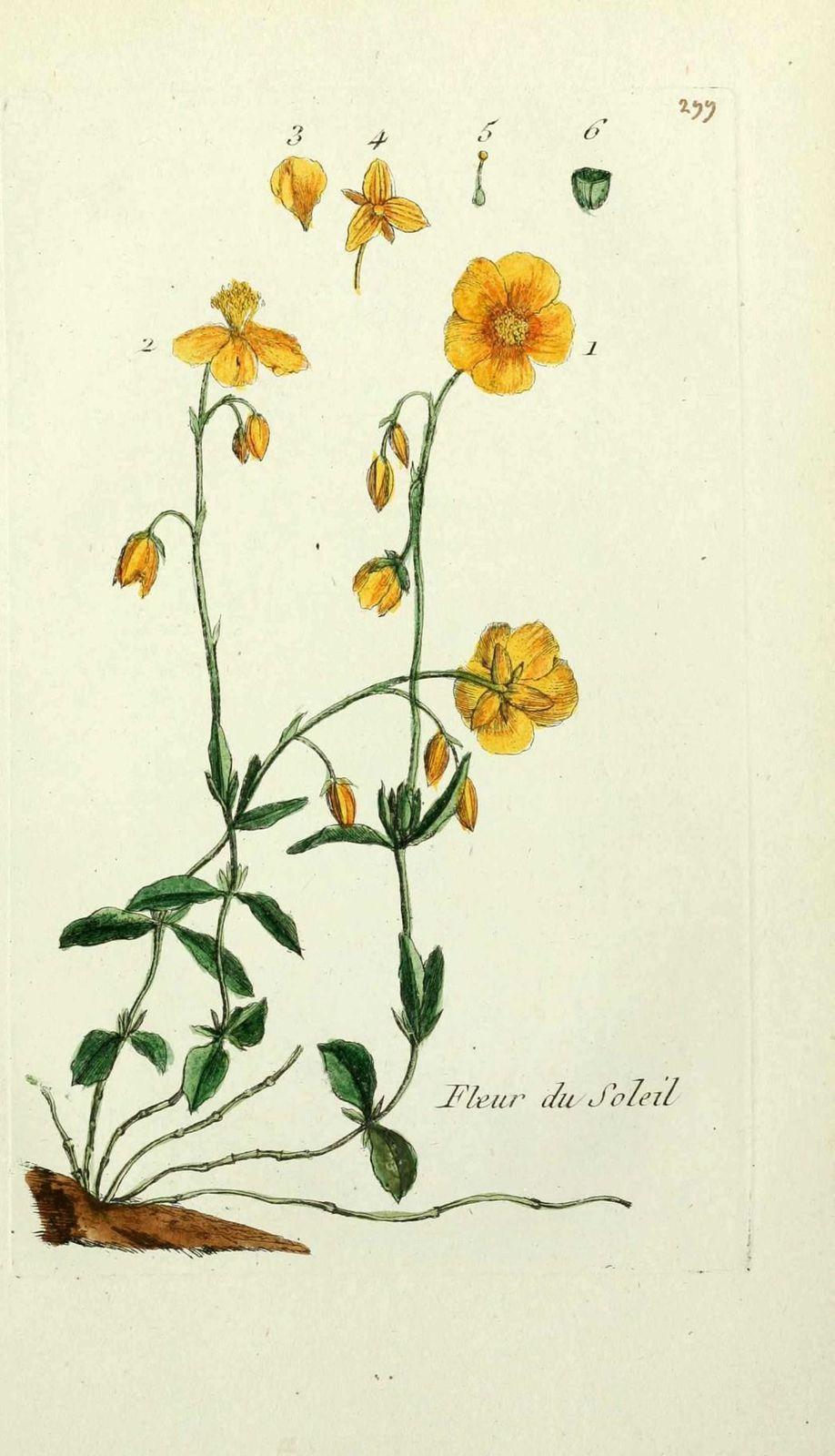 heliantheme - cistus helianthemum ( fleur du soleil, herbe