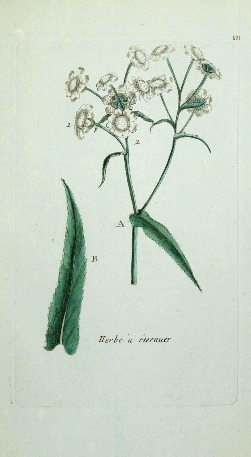 herbe a eternuer - achillea ptarmica ( bouton d argent des