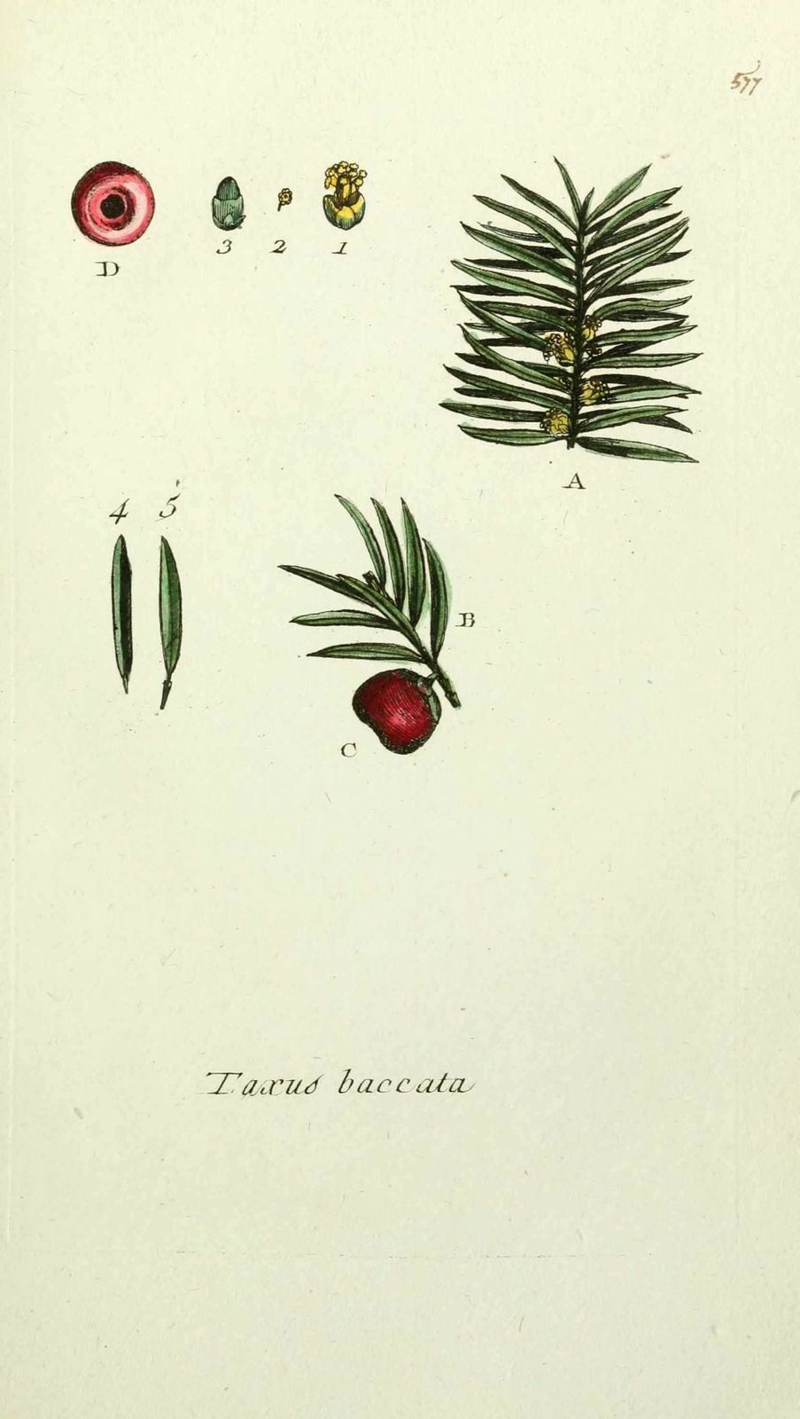 if - taxus baccata