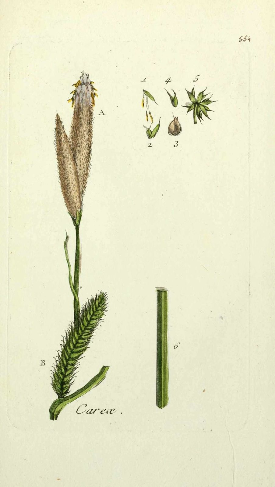 laiche faux souchet - carex pseudo cyperus