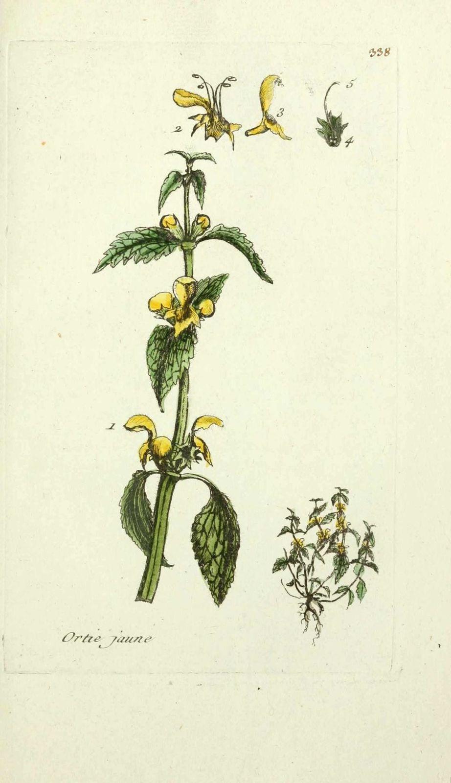 lamier jaune - galeopsis galeobdolon ( ortie jaune, ortie m