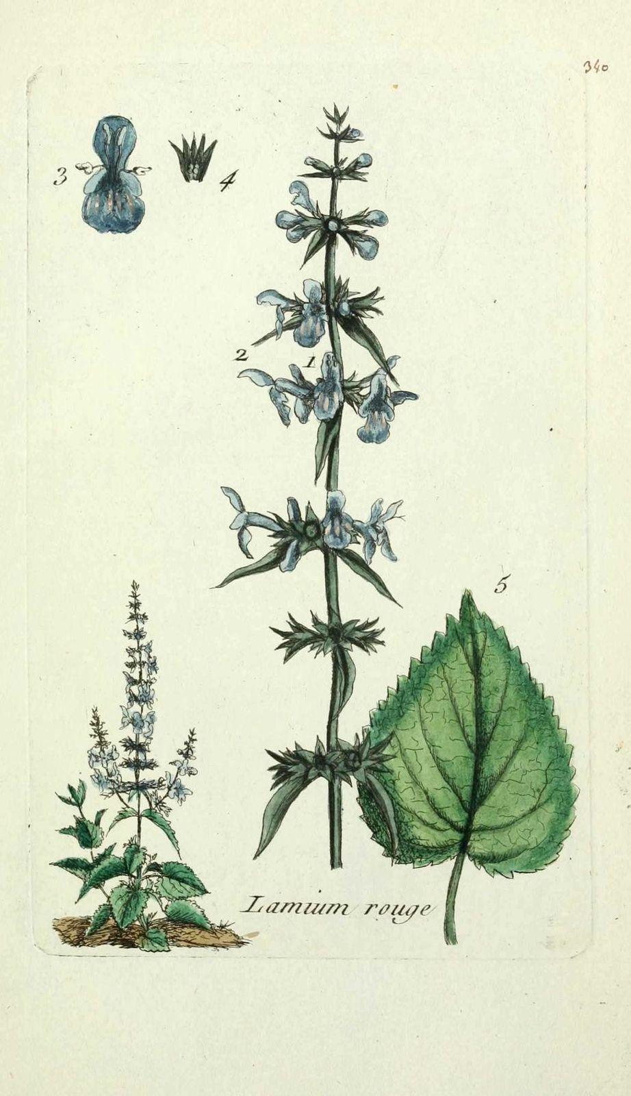 lamium rouge - stachys sylvatica ( ortie rouge, archangeliq