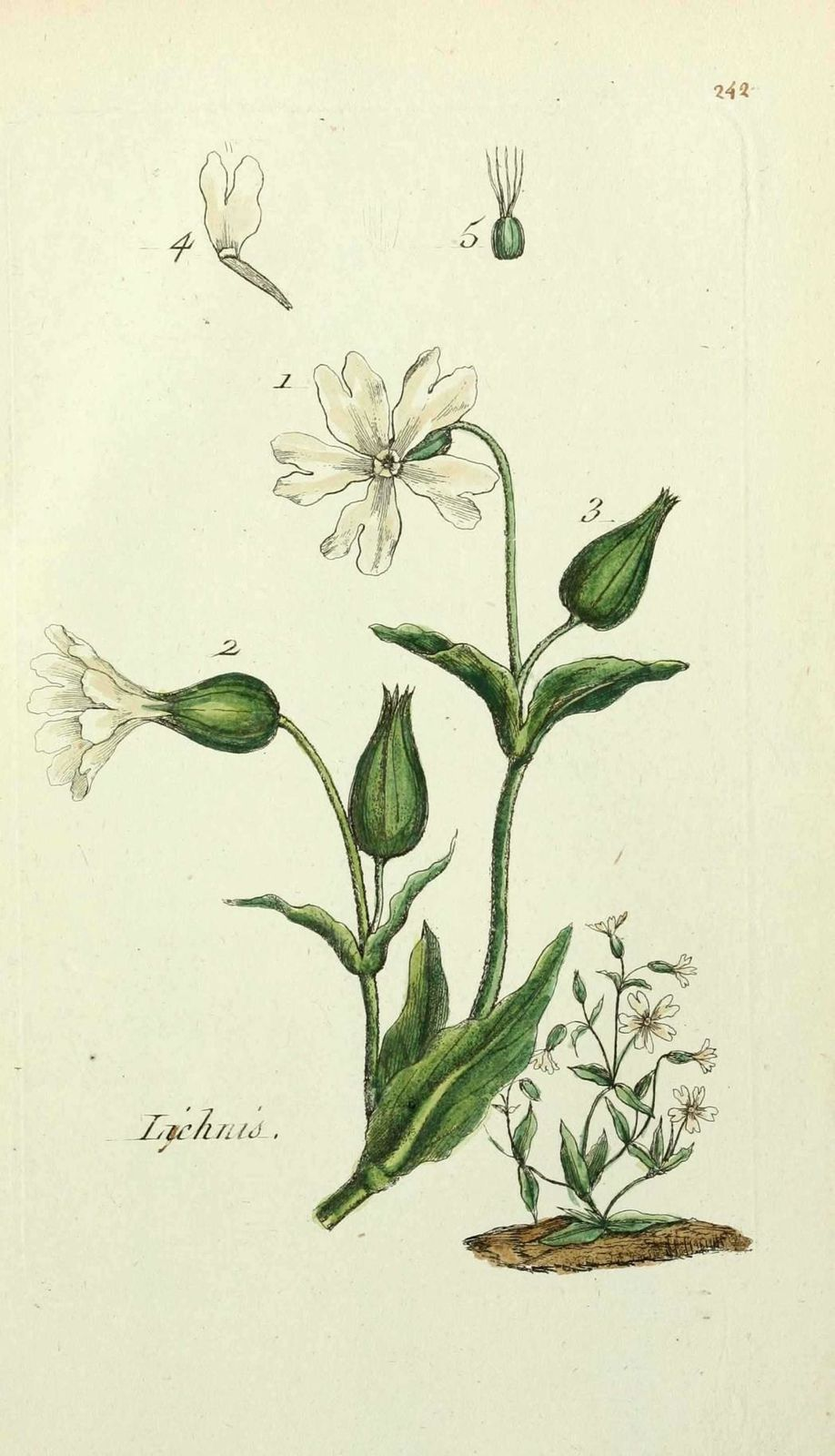 lychnis des champs - lychnis dioica ( lychnis sauvage, oeil