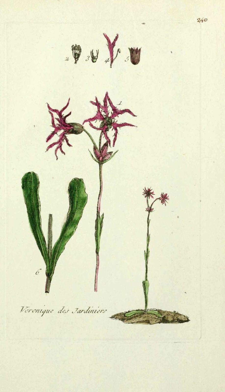 lychnis fleur de coucou - lychnis flos cuculi ( lychnis des