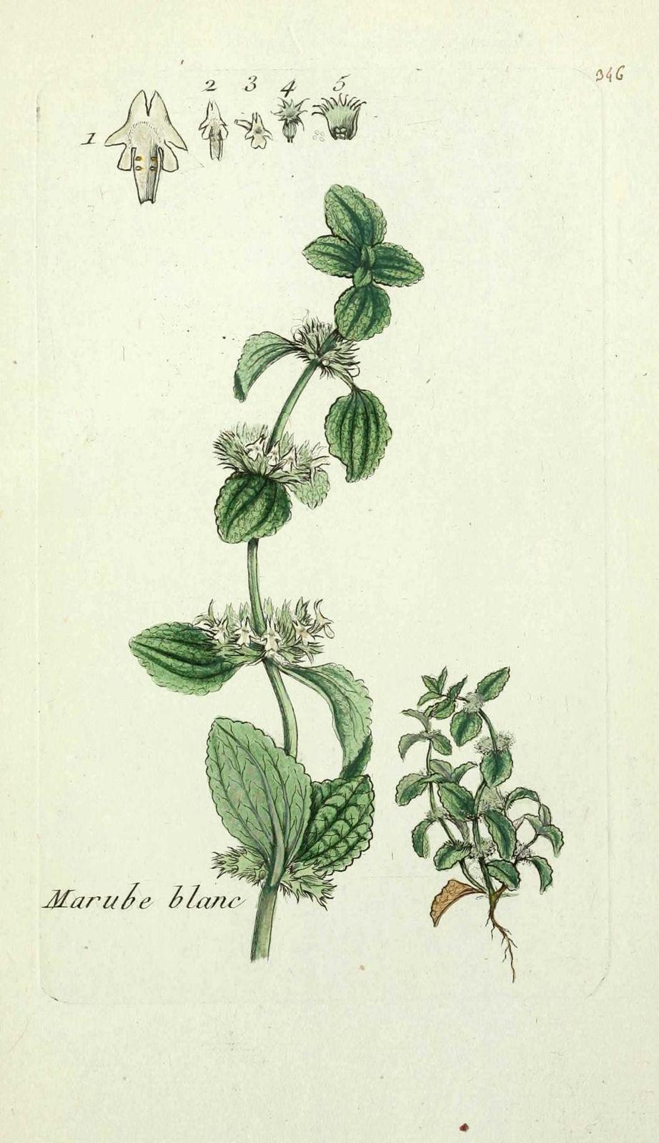 marrube blanc - marrubium vulgare ( herbe aux crocs, maroch