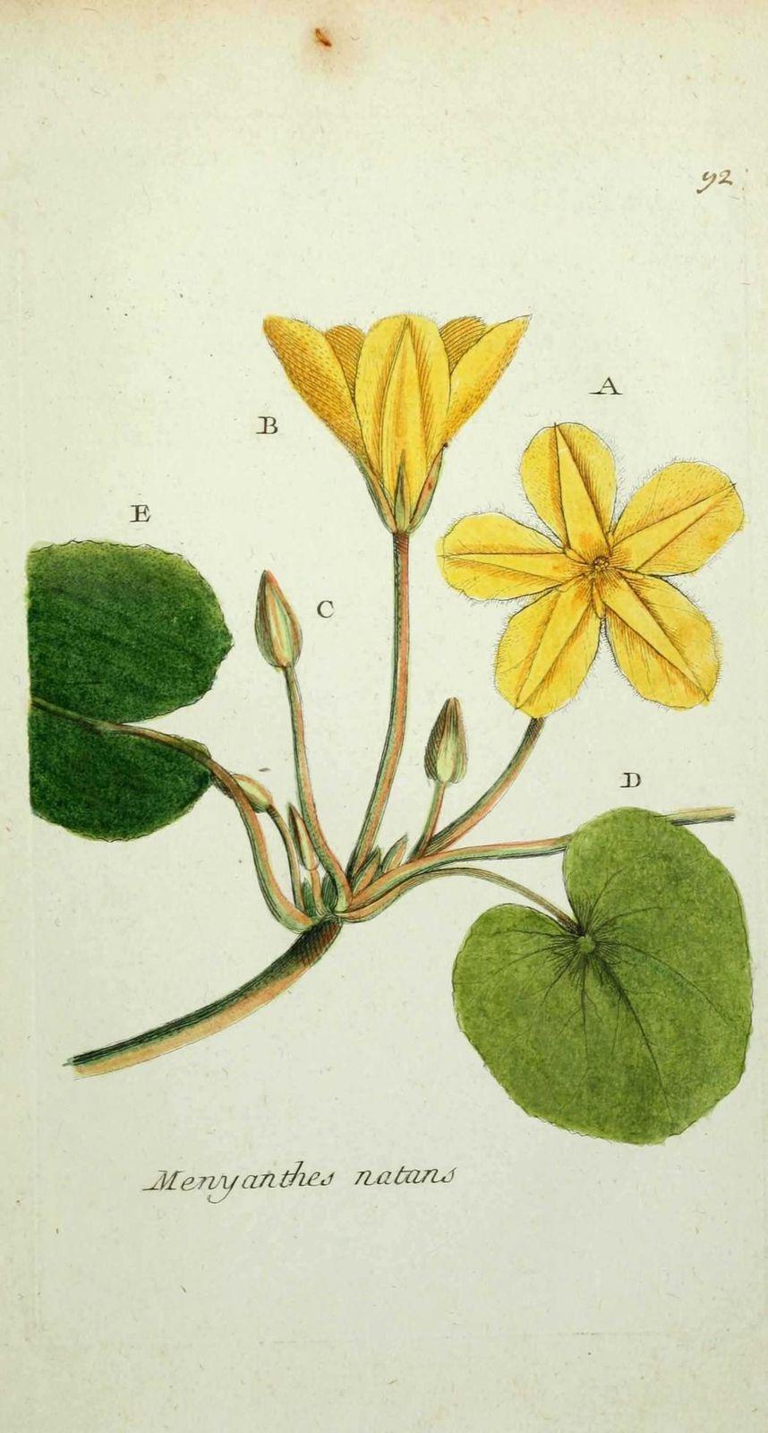 menyanthe a feuilles rondes - menyanthes nymphoides ( petit