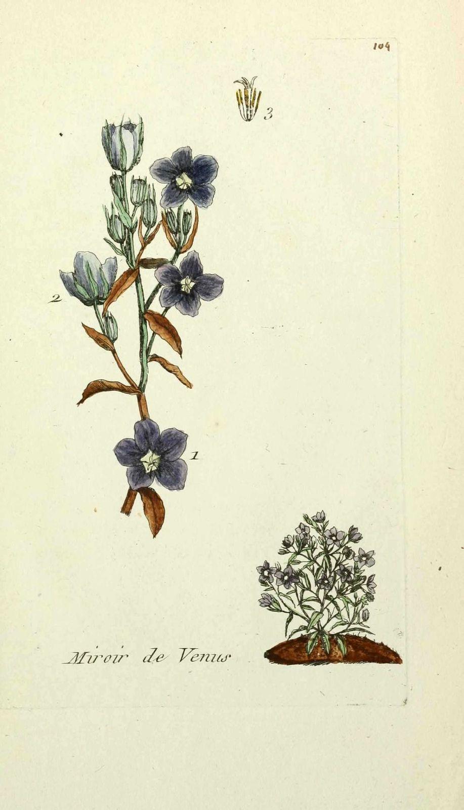 miroir de venus - campanula speculum ( doucette )