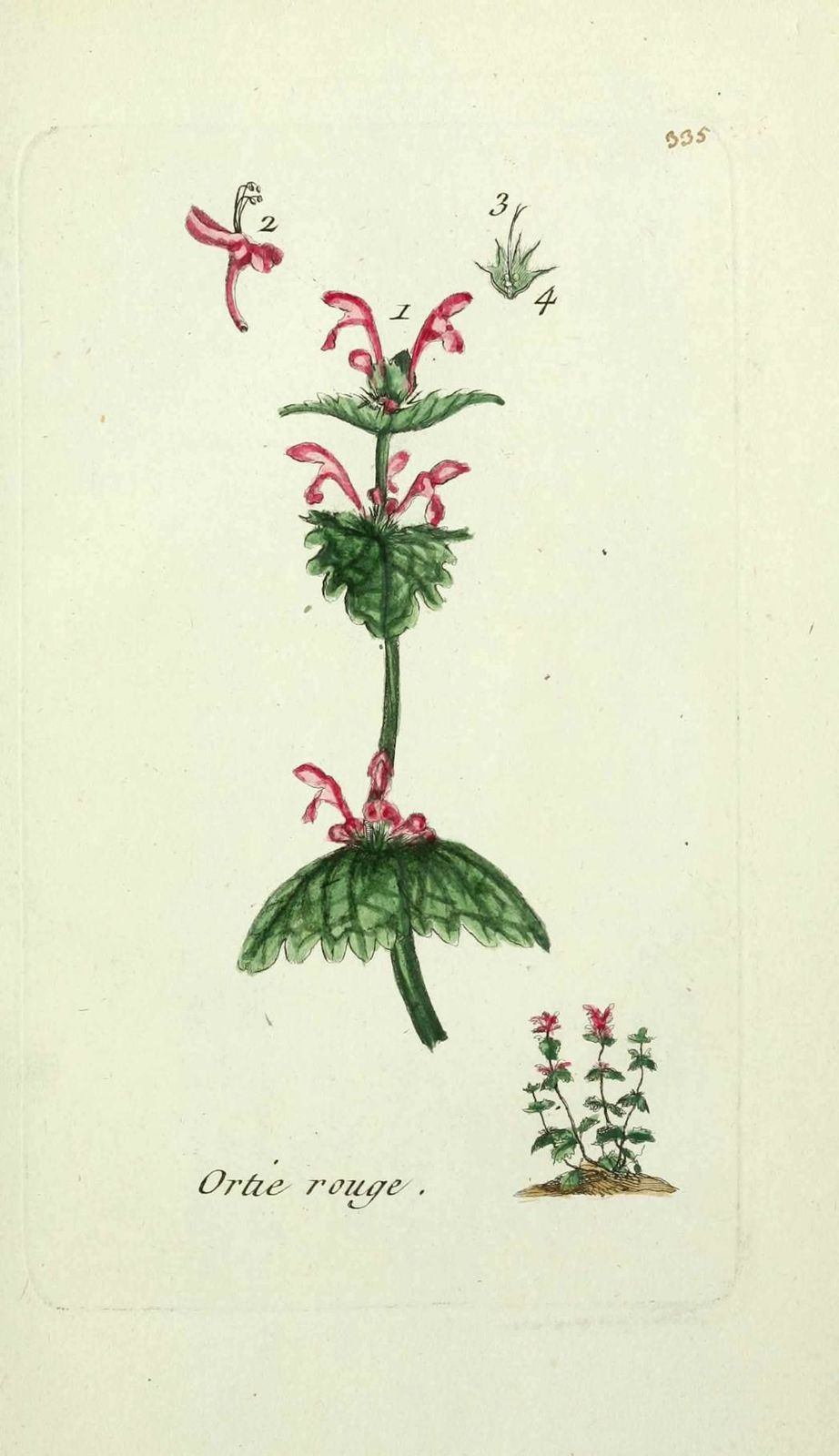 ortie rouge - lamium amplexicaule ( archangelique rouge, or