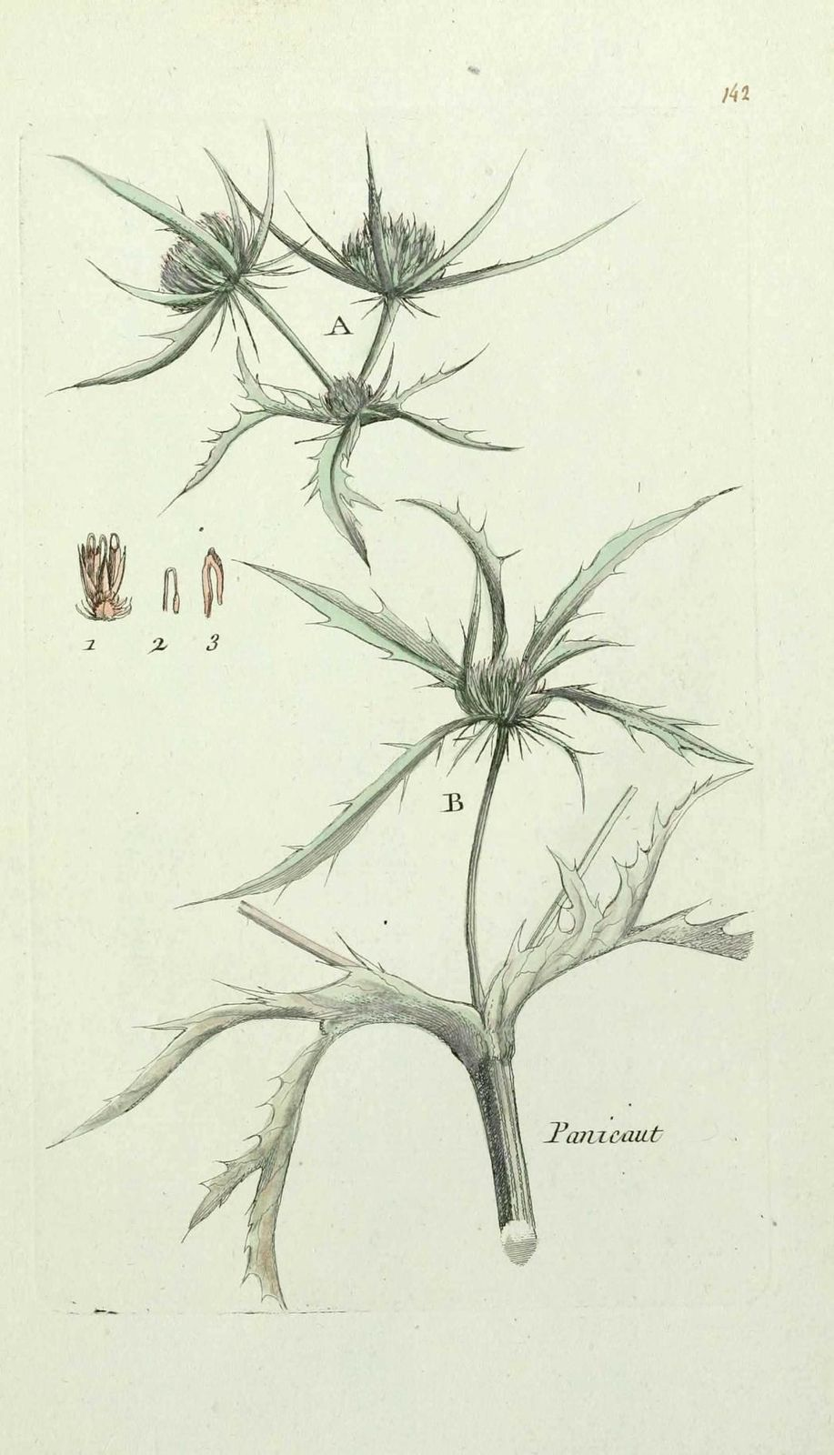 panicaut - eryngium campestre ( chardon roland, herbe a cen
