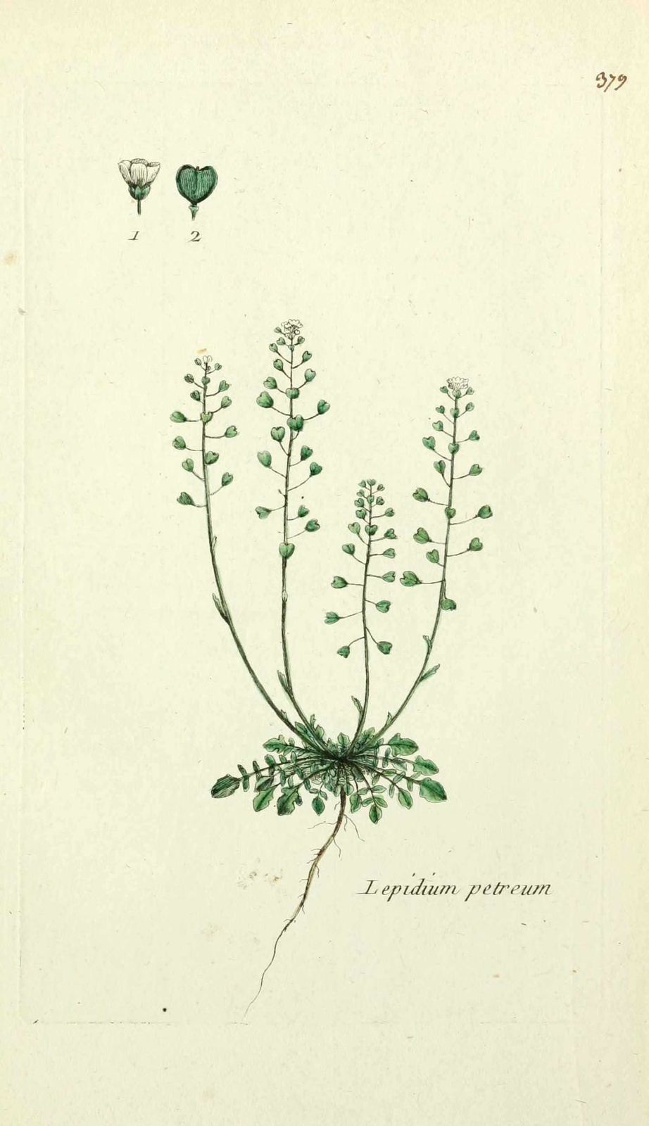 passerage menu - lepidium petraeum