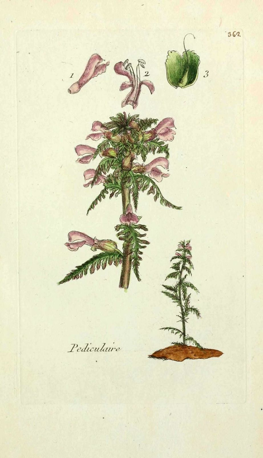 pediculaire des marais - pedicularis palustris
