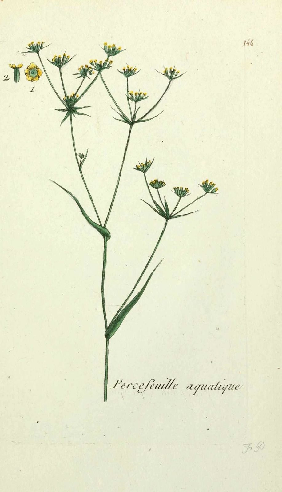 perce-feuille aquatique - buplevrum rotundifolium junceum