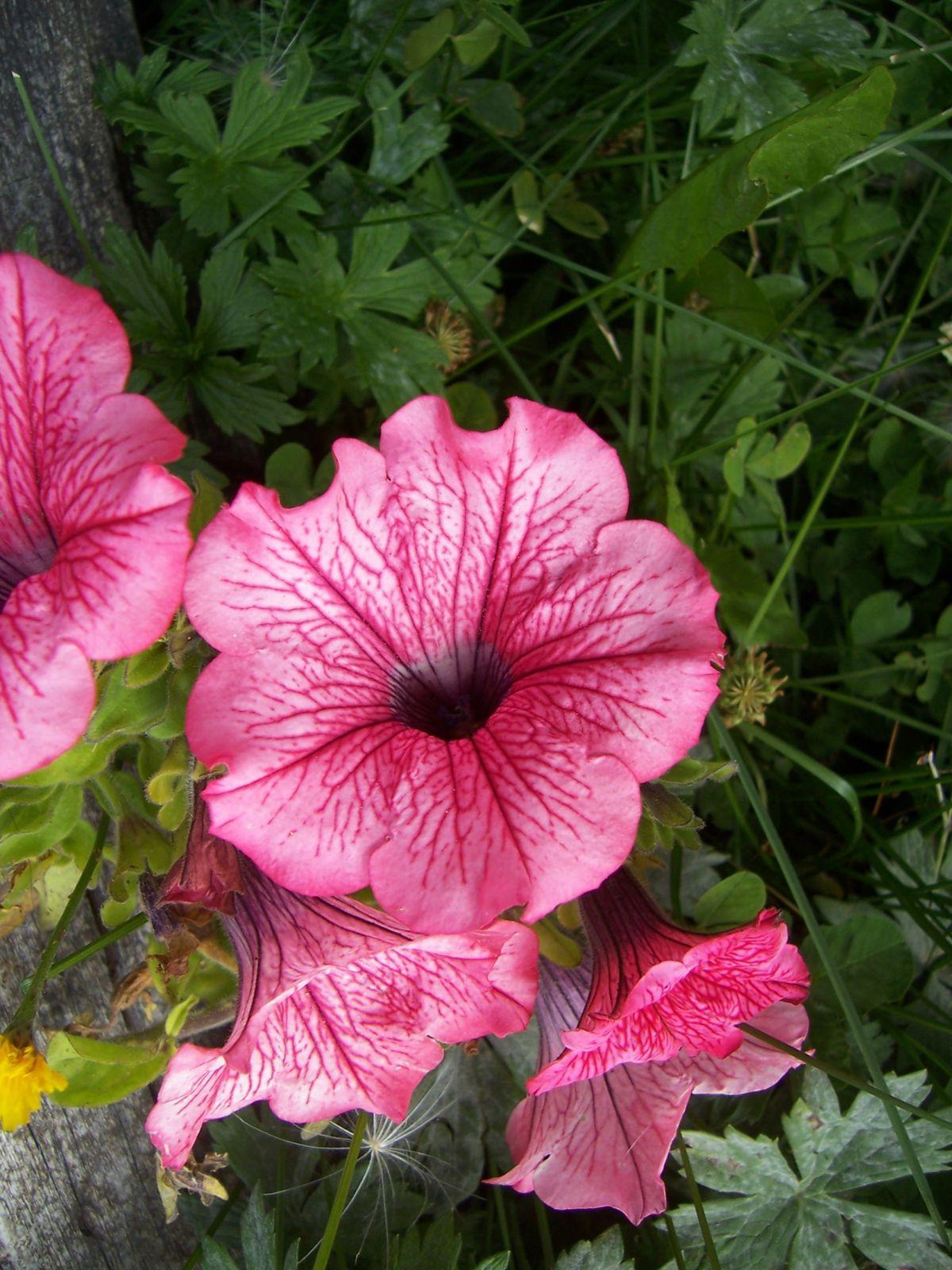 Photo de fleur : fleur de petunia rose