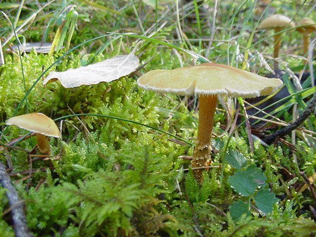 Macro-photo nature : cystoderme