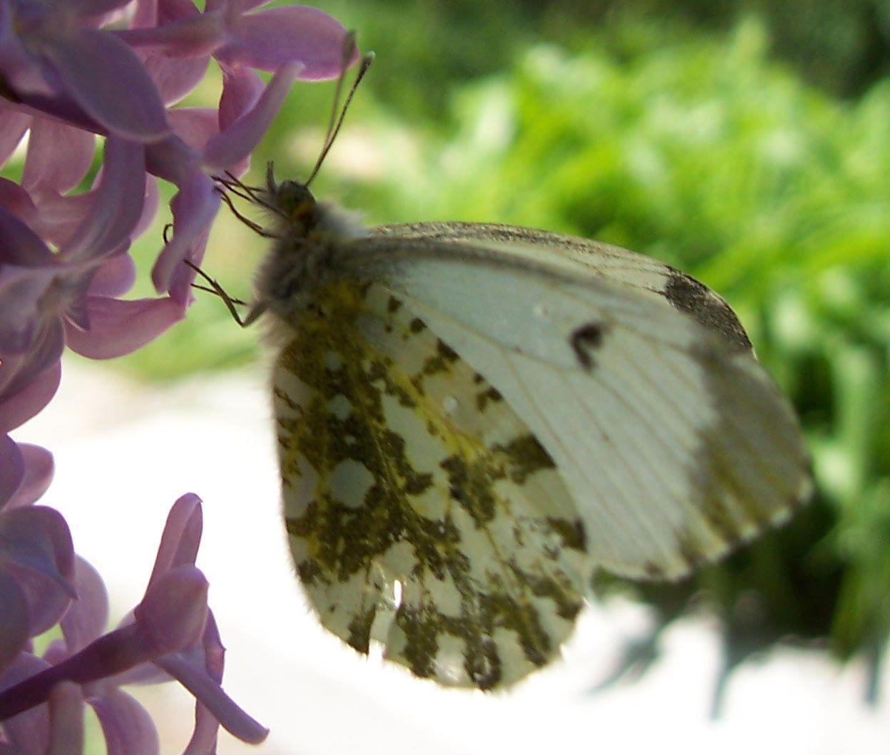 Macro-photo nature : papillon Aurore Anthocharis cardamines femelle
