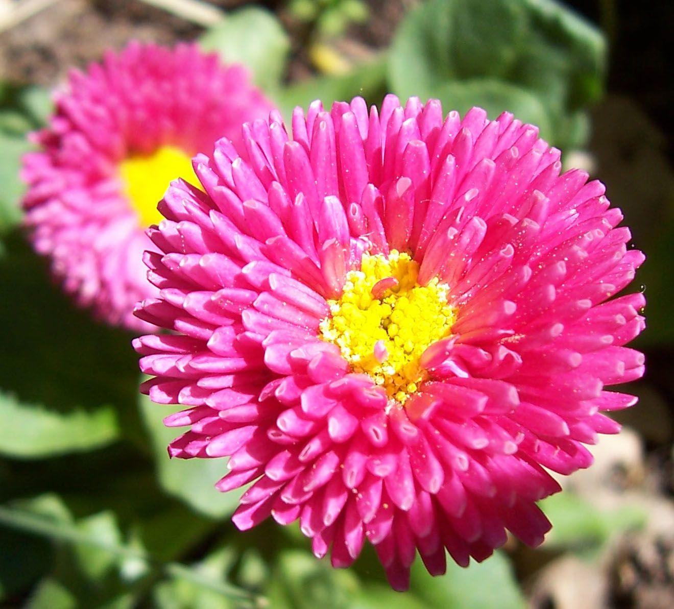 Macro-photo nature : paquerettes cultivees