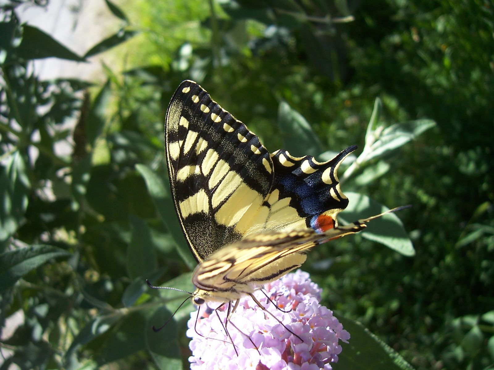 Photos plantes du jardin : papillon machaon