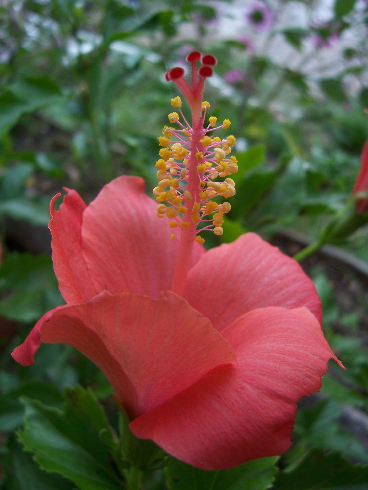 Image-photo : fleur d hibiscus