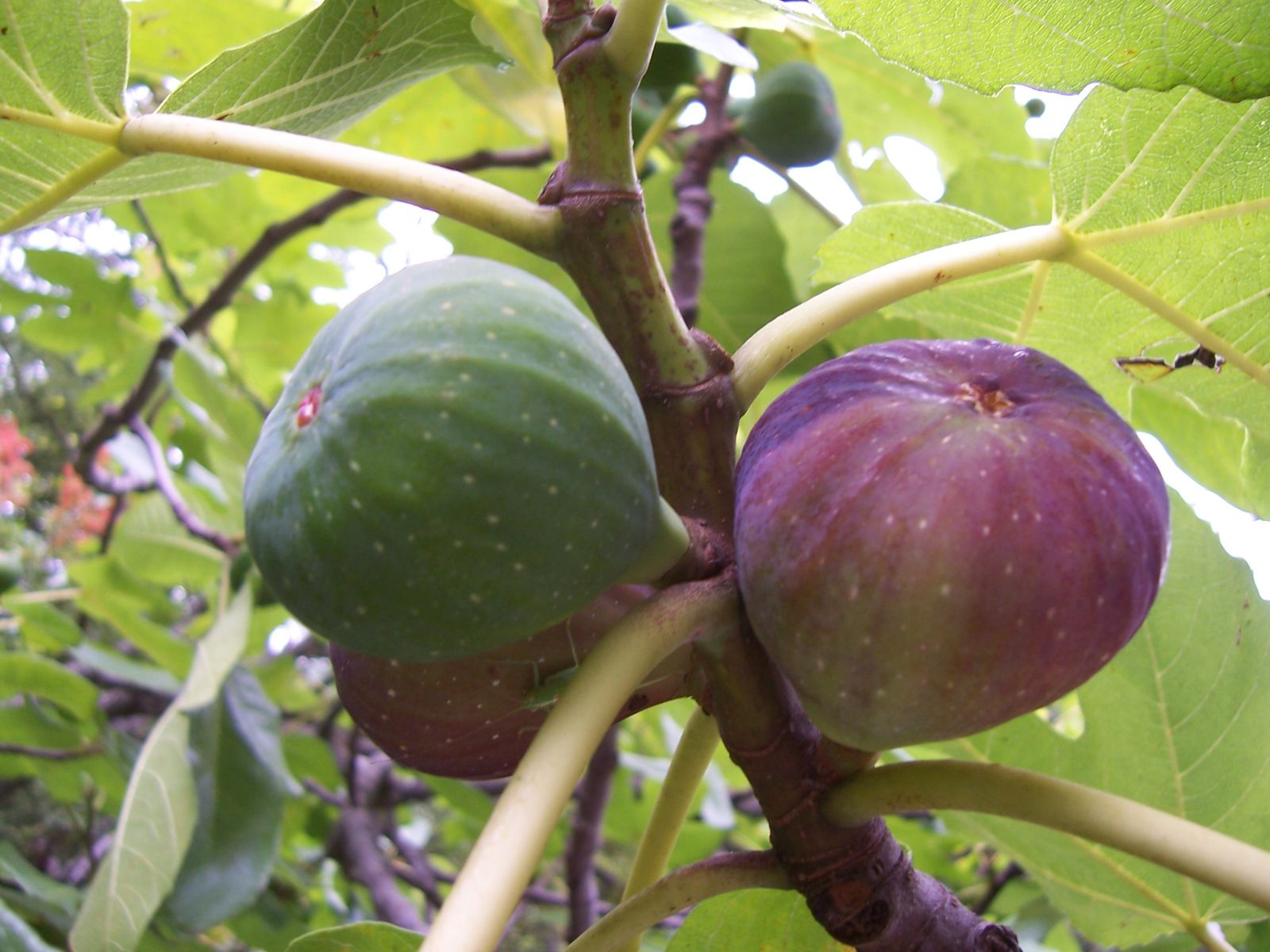 Image-photo : fruits figues