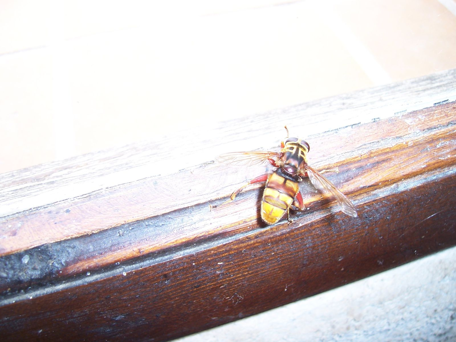 Image-photo : mouche Syrphe diptere