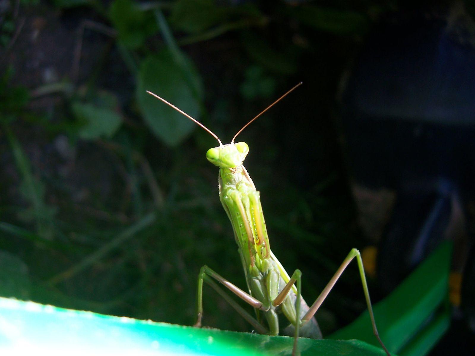 Image-photo : Mante religieuse Insecte