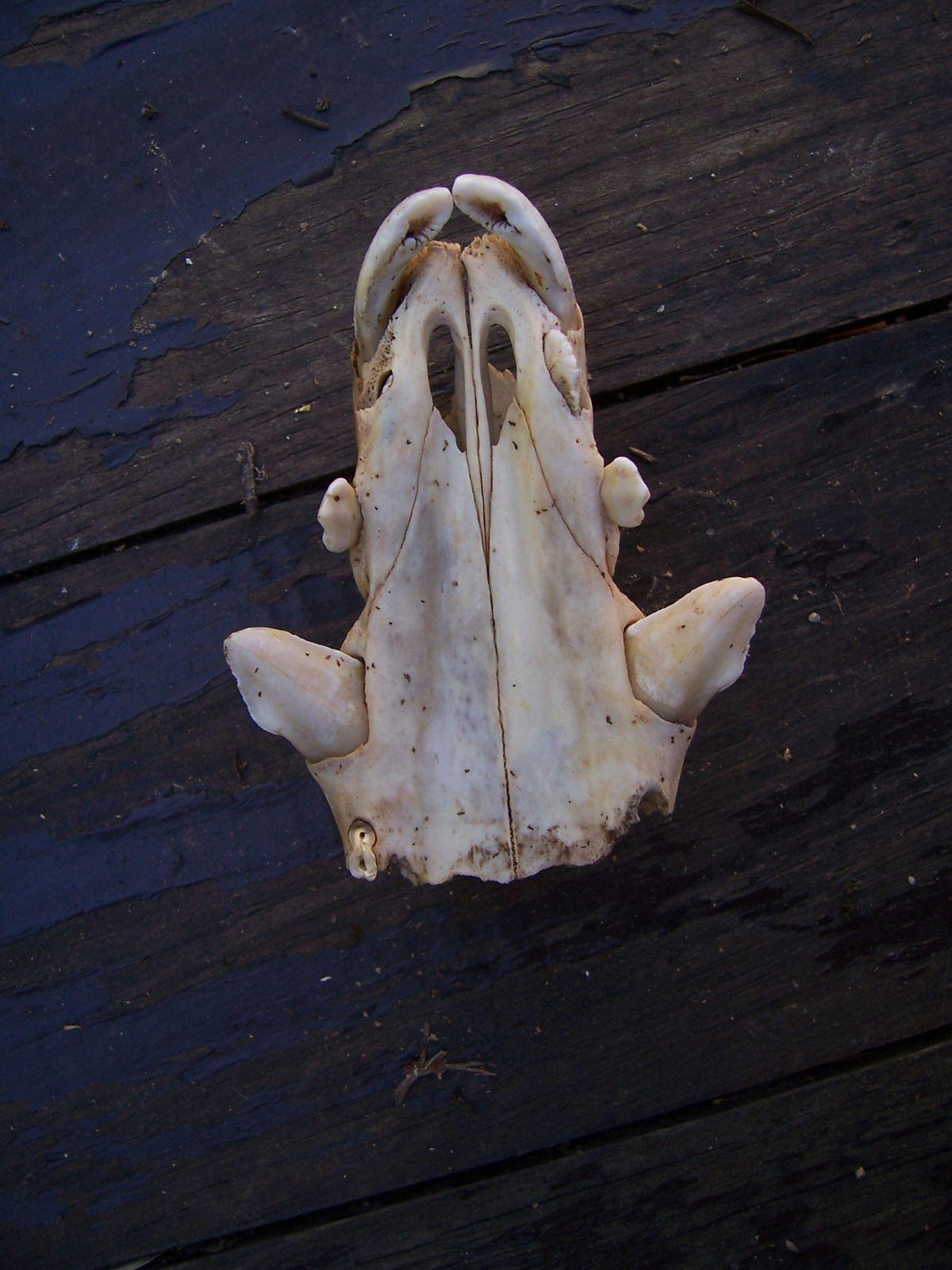 Image-photo : museau de sanglier squelette