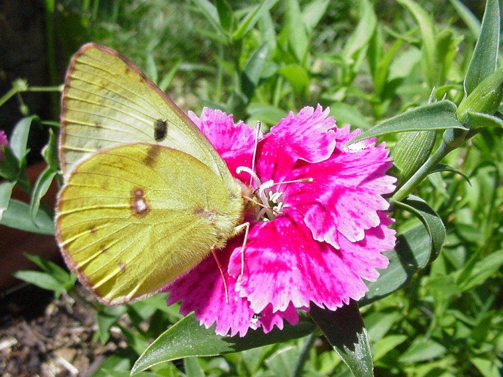 Photo : papillon Colias alfacariensis