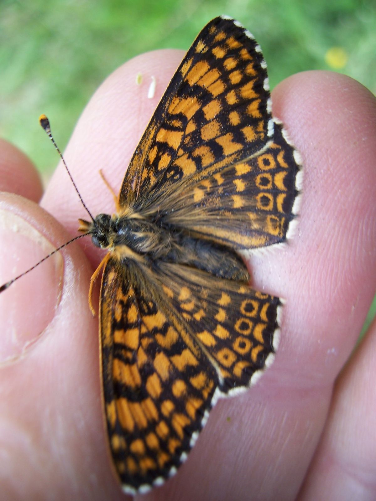 Photo : Papillon Melitaea cinxia