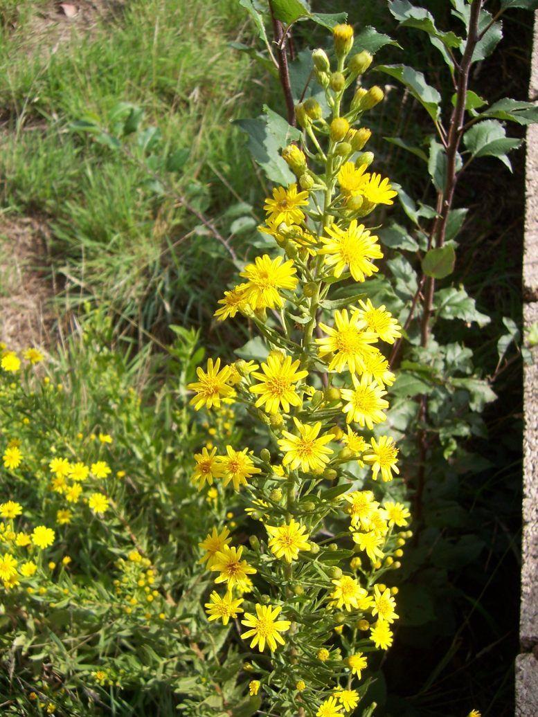 Photo : Fleur dittrichia viscosa