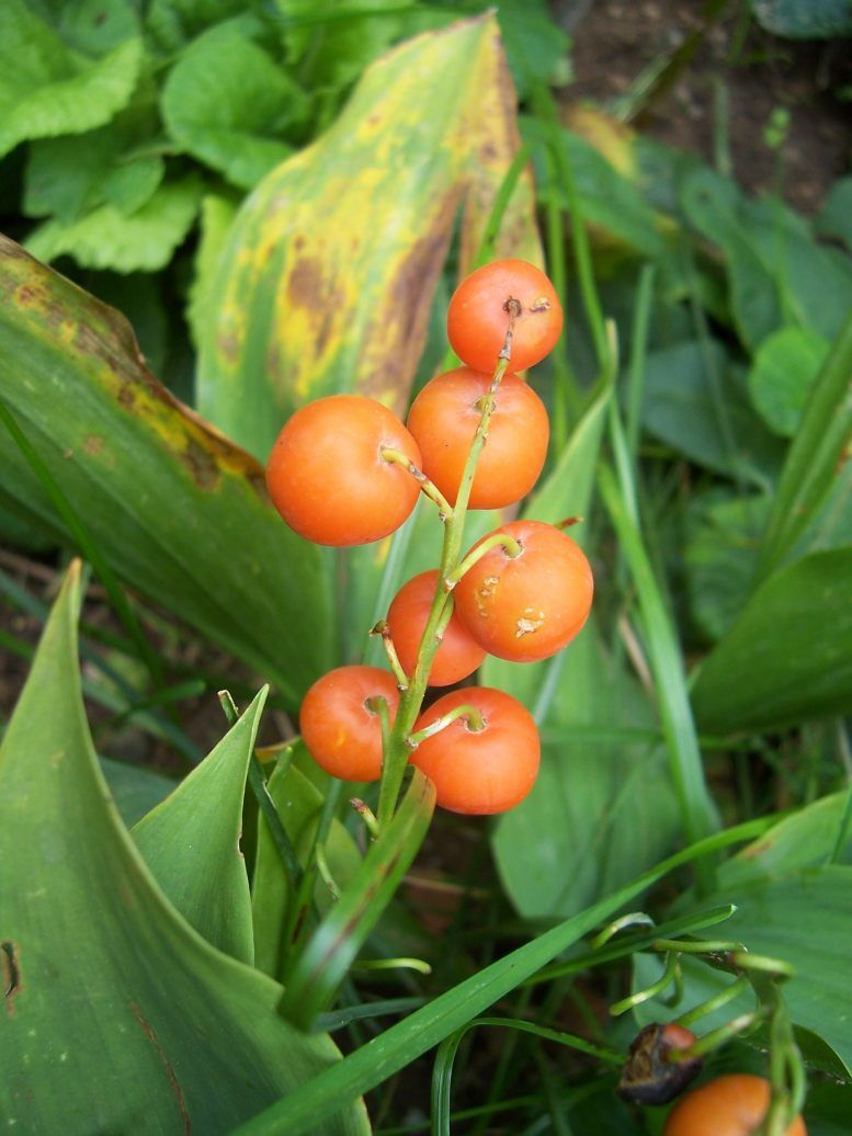 Photo : fruits du muguet
