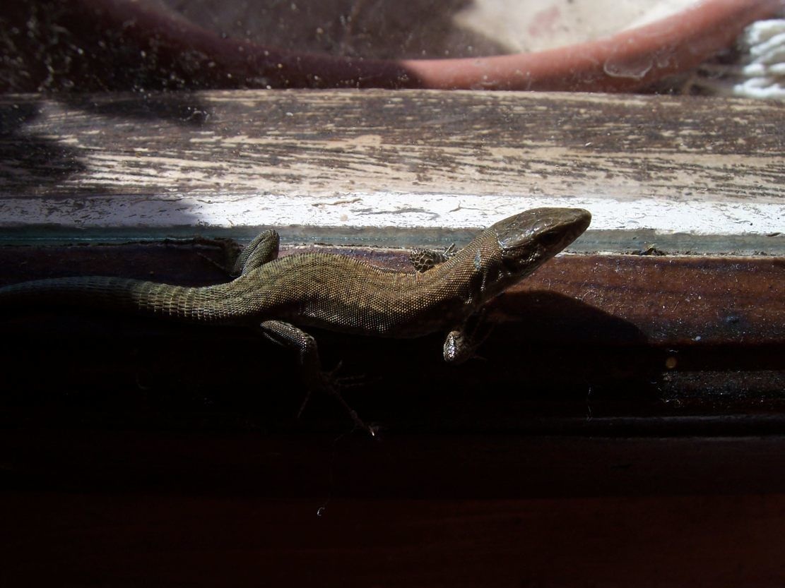 Photo : lezard des murailles lacerta muralis