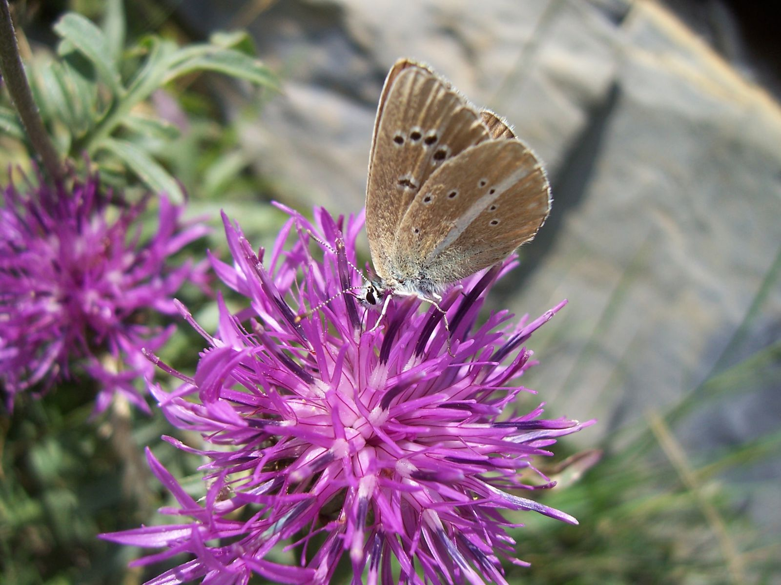 Photo : papillon le sable provencal - polyommatus ripartii-copie-1
